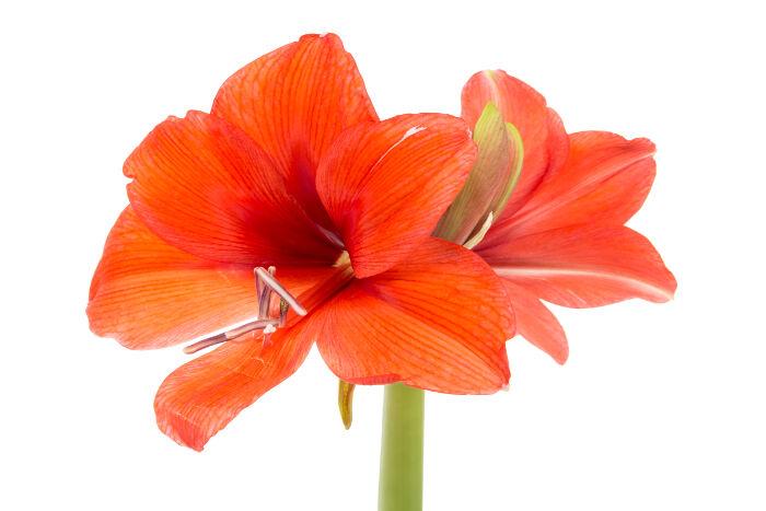 amaryllis signification des fleurs