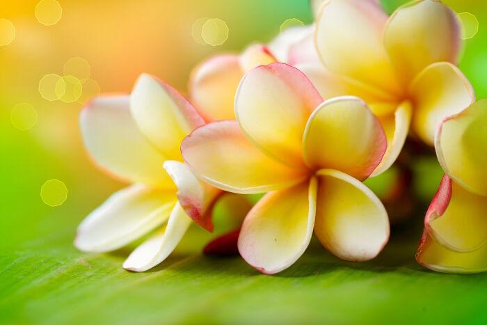 Frangipanier - Signification Des Fleurs