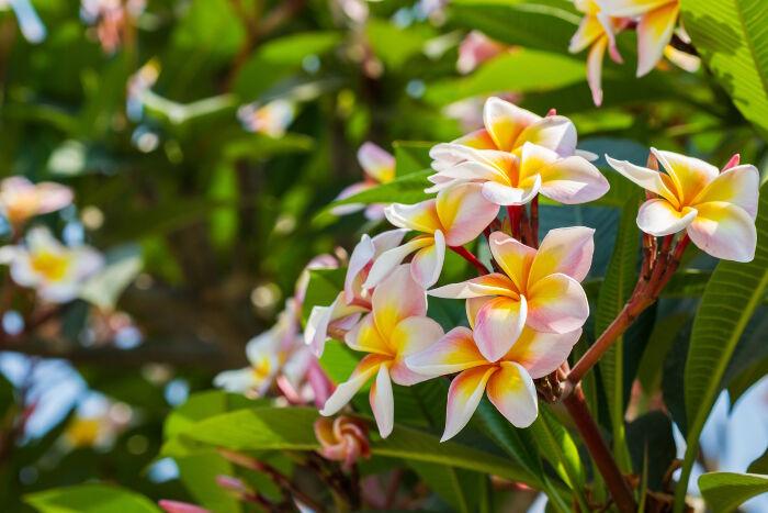 fleurs immortelles botanique