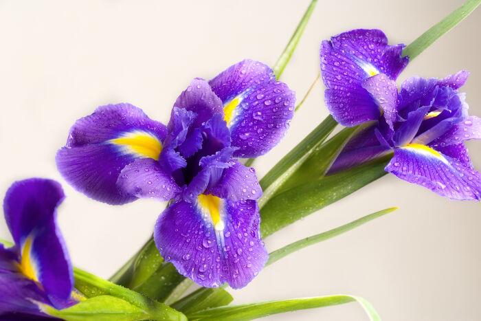 Iris Signification Des Fleurs