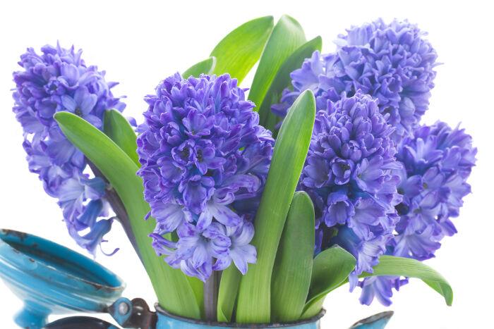 Jacinthe Signification Des Fleurs