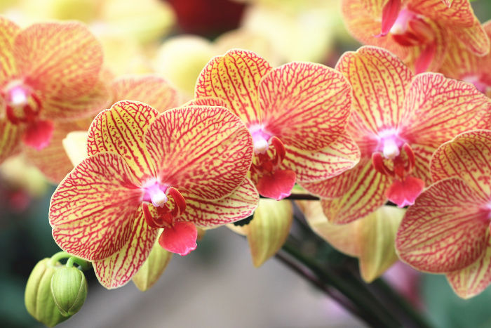 orchidee signification