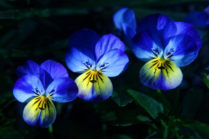Pensée - Signification Des Fleurs