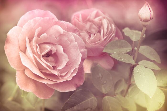 Rose Signification Des Fleurs