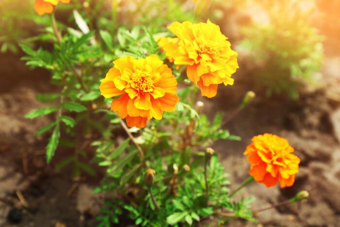 Souci Signification Des Fleurs
