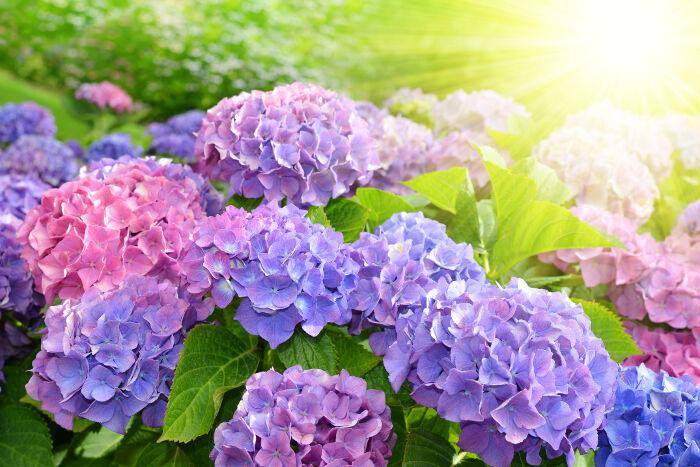 Hortensia - Signification Des Fleurs
