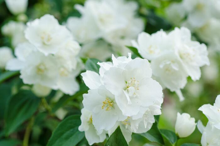 Jasmin - Signification Des Fleurs