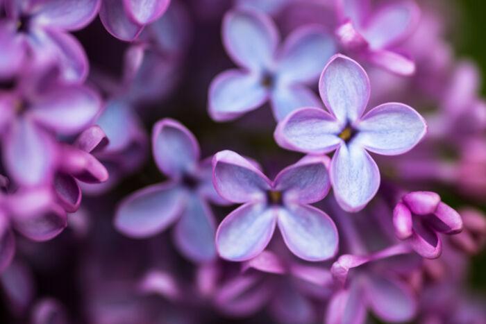 lilas - signification des fleurs