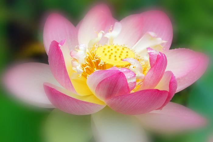 lotus - signification des fleurs