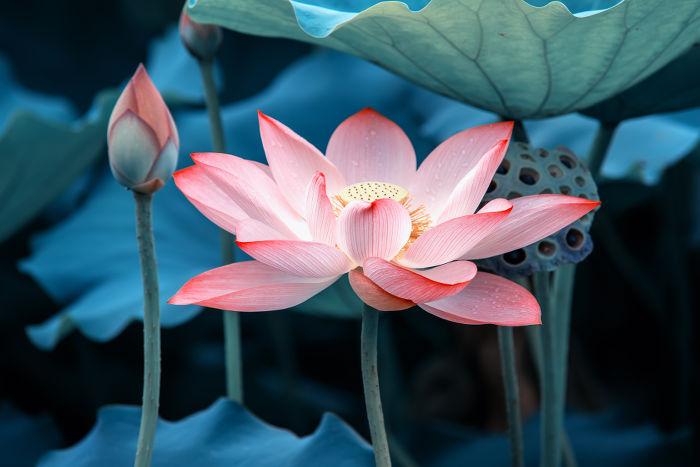 Fleur Lotus lotus - signification des fleurs