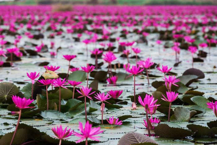 Lotus signification des fleurs - Fleur de lotus bouddhisme ...