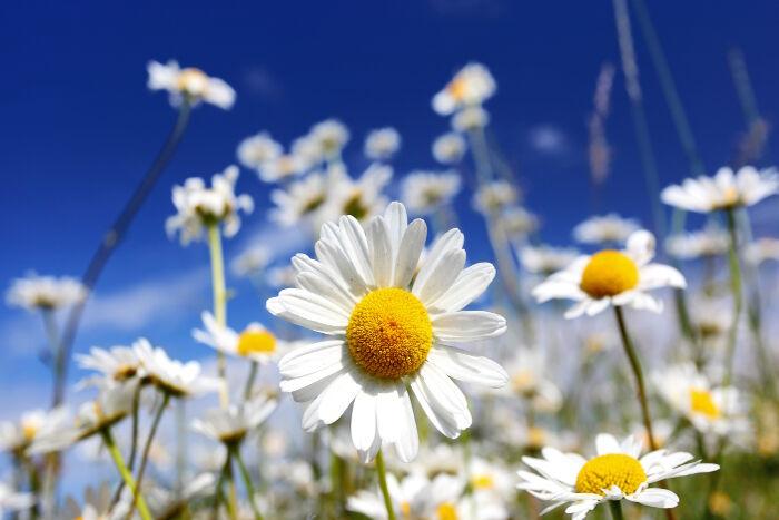 Marguerite signification des fleurs - Image fleur marguerite ...