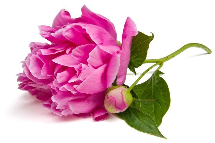 Pivoine Signification Des Fleurs