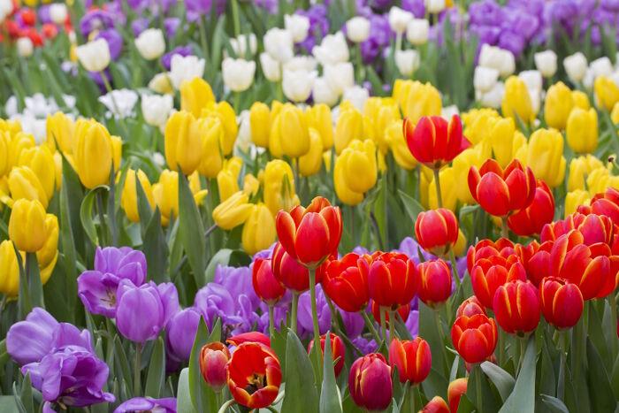 Tulipe Signification Des Fleurs